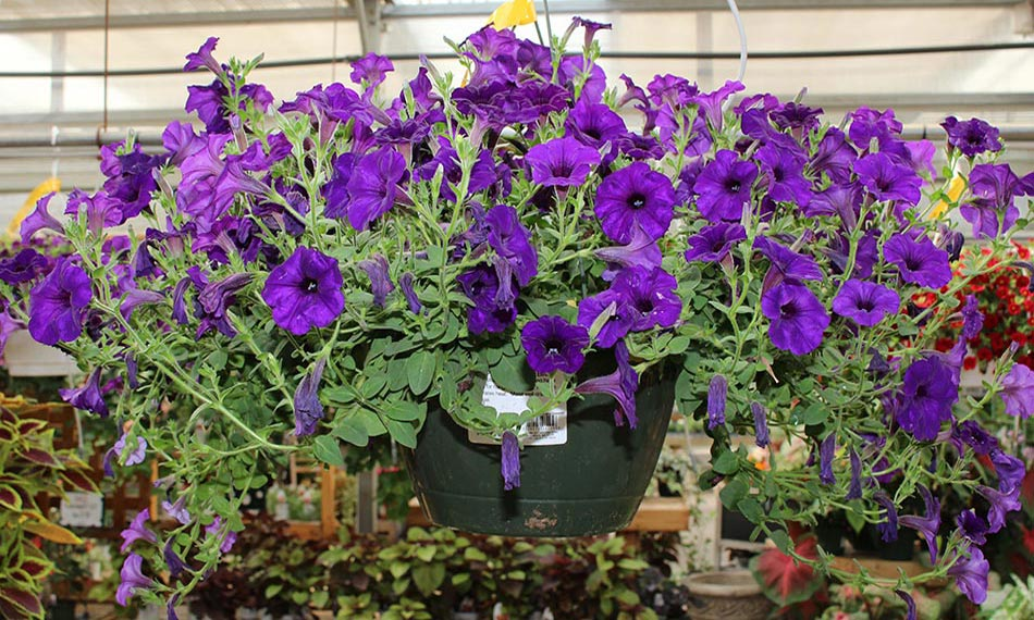 Annuals perennials ct plants form a bush of dark green leaves that will stay all season long it single flowers of bright rose pink with contrasting creamy yellow center mightylinksfo